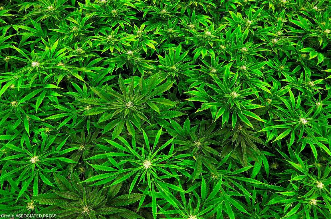 "Marijuana clones are monitored inside the ""Vegetative Room"" at the Ataraxia medical marijuana cultivation center in Albion, Ill."